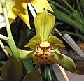 九華極品雙富貴 Cymbidium goeringii x sinense 'Double Riches & Honours' -香港沙田洋蘭展 Shatin Orchid Show, Hong Kong- (12146900565).jpg