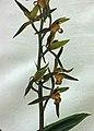 報歲達摩變化藝 Cymbidium sinense -香港花展 Hong Kong Flower Show- (33816200565).jpg