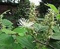 大北美瓶刷樹 Fothergilla major -比利時 Leuven Botanical Garden, Belgium- (9227078575).jpg