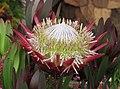 帝王海神花 Protea cynaroides Madiba -香港花展 Hong Kong Flower Show- (9204835499).jpg