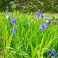 御所市高天 橋本院境内にて Rabbitear iris in Hashimoto-in 2012.5.14 - panoramio.jpg
