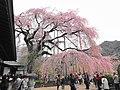 慈雲寺のしだれ桜 - panoramio (1).jpg