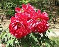 日本牡丹-七寶殿 Paeonia suffruticosa Shichihoden -日本大阪長居植物園 Osaka Nagai Botanical Garden, Japan- (40579019270).jpg