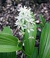 星花舞鶴草 Maianthemum stellatum -比利時 Ghent University Botanical Garden, Belgium- (9227097307).jpg