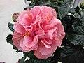 朱槿 Hibiscus Zaragoza -荷蘭園藝展 Venlo Floriade, Holland- (9156015785).jpg