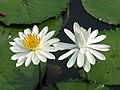 柔毛齒葉睡蓮 Nymphaea lotus v pubescens -新加坡植物園 Singapore Botanic Gardens- (9240152286).jpg