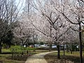 桜の小道 - panoramio.jpg
