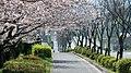 桜並木の散歩道 - panoramio.jpg