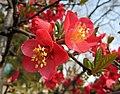 海棠-紅牡丹 Chaenomeles speciosa 'Red Peony' -南京莫愁湖 Nanjing Mochou Lake, China- (32744108434).jpg