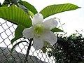 清明花屬 Beaumontia multiflora -香港迪欣湖 Inspiration Lake, Hong Kong- (9226997797).jpg