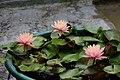 睡蓮 Water Lily - panoramio (1).jpg