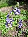 花荵 Polemonium caeruleum -華沙大學植物園 Warsaw University Botanic Garden- (35664984764).jpg