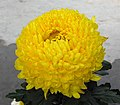 菊花-世界一號 Chrysanthemum morifolium 'World -1' -香港雲泉仙館 Ping Che, Hong Kong- (11961619644).jpg