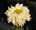 菊花-洹水金秋 Chrysanthemum morifolium 'Golden Autumn at River Heng' -中山小欖菊花會 Xiaolan Chrysanthemum Show, China- (11994865713).jpg