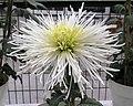 菊花-翎管型 Chrysanthemum morifolium Plume-tubular-series -香港圓玄學院 Hong Kong Yuen Yuen Institute- (9252462109).jpg