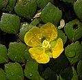 菱葉丁香 Ludwigia sedoides -泰國清邁花展 Royal Flora Ratchaphruek, Thailand- (9216099656).jpg