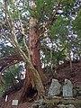 蓮如上人お手植えの杉(蓮如杉) 2013.4.09 - panoramio.jpg