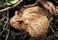角蛙 Horned Frog - panoramio (2).jpg