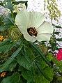 野西瓜苗 Hibiscus trionum -紐西蘭 Russell Pompallier Mission, New Zealand- (31658530147).jpg