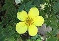 金露梅 Potentilla fruticosa 'Longacre' -維也納高山植物園 Belvedere Alpine Garden, Vienna- (28502945054).jpg