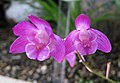韓國香石斛 Dendrobium hybrid -香港動植物公園 Hong Kong Botanical Garden- (9265722363).jpg