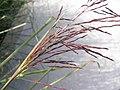 香根草(培地茅) Vetiveria zizanioides -台北花博 Taipei Flora Expo- (9259214333).jpg