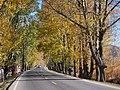 黄杨大道 - Poplar Avenue - 2012.10 - panoramio.jpg