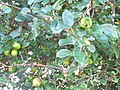-2018-07-13 Fruit on a Crab-apple tree, Trimingham.JPG