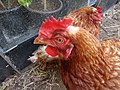 -2019-09-01 Chicken, Trimingham, Norfolk.JPG