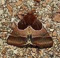 - 11128 – Schinia arcigera – Arcigera Flower Moth (42499107700).jpg