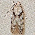 - 1874 – Pseudotelphusa quercinigracella (15898583667).jpg