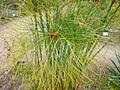 01755 - Cyperus papyrus (Papyrus-Staude).JPG