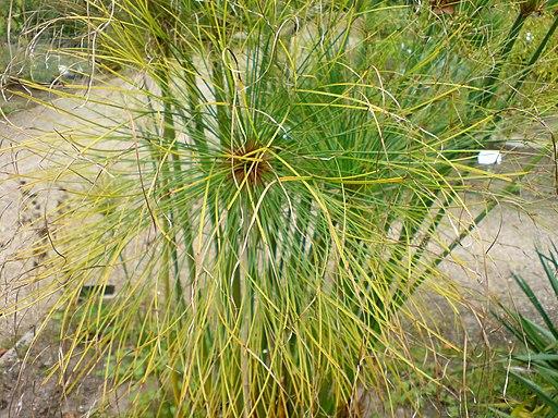 01755 - Cyperus papyrus (Papyrus-Staude)