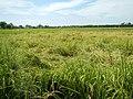 0201jfVentinilla Fields Nancamarinan Paniqui Camiling Tarlacfvf 30.JPG