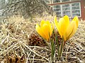 0224091249a Yellow Snow Crocus.jpg