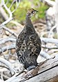 085 - SOOTY GROUSE (9-10-09) near mt lassen, ca (2) (8719903235).jpg