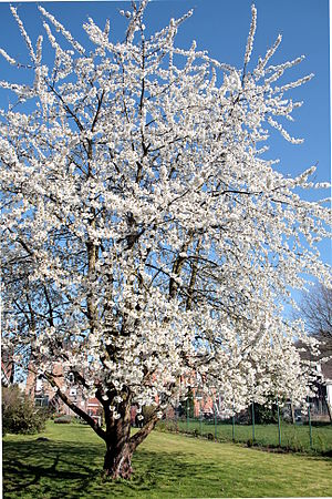 Prunus avium - Prunus avium in spring