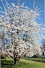 0 Prunus avium - Havré (1)
