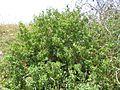 11-05-2017 Black spine nightshade, (Solanum linnaeanum), Olhos de Água (2).JPG