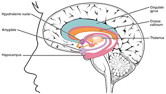 Limbic system - The limbic system largely consists of what was previously known as the limbic lobe.