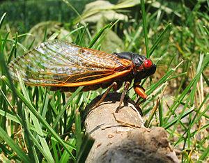 Brood X - A 17-year Cicada from brood X 2004 - Princeton, NJ