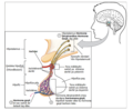 1808 The Anterior Pituitary Complex ku.png