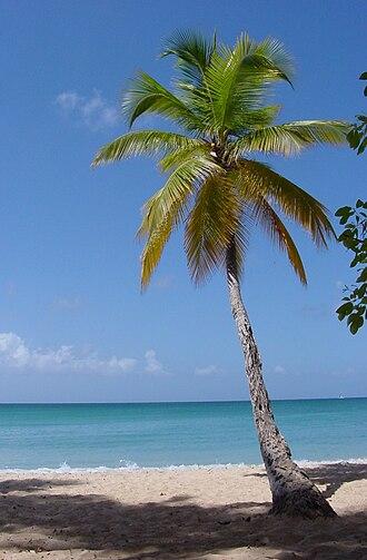Arecaceae - Coconut palm tree Cocos nucifera in Martinique.