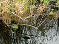 2001.12.19 05 Green Heron Everglades.jpg
