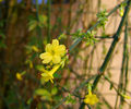 2006-12-01Jasminum nudiflorum11.jpg