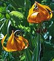 2009 Sun Peaks Summer - Tiger Lillies (Lillium columbianum) - (28453311530).jpg
