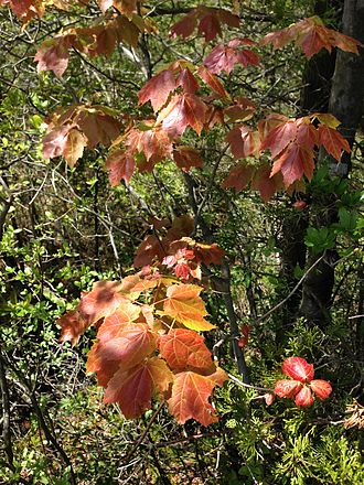 Acer rubrum - Immature foliage of Acer rubrum (Red Maple)