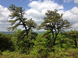 2013-05-12 11 23 41 Pitch Pine trees and view west from the Hoeferlin Trail in Ramapo Mountain State Forest in New Jersey.jpg