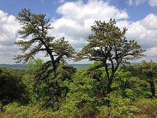 <i>Pinus rigida</i> species of plant