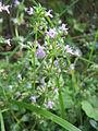 20130906Clinopodium vulgare.jpg